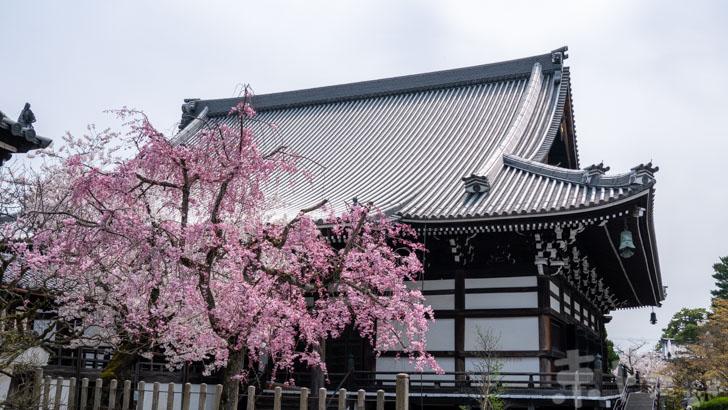 京都妙顕寺の桜